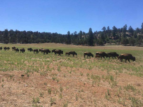bisonte americano en Utah