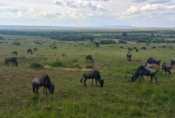 ñu Masai Mara