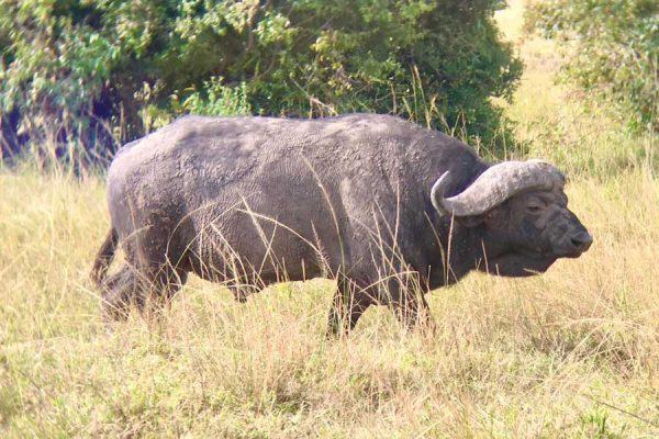 bufalo Masai Mara