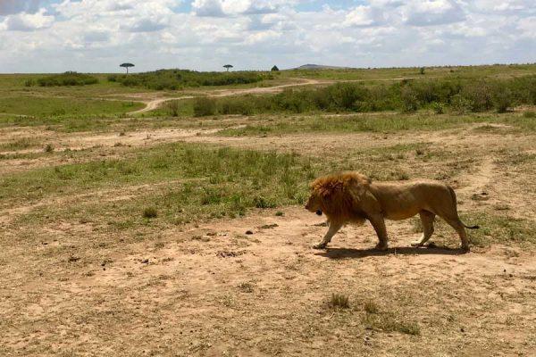 león masai mara