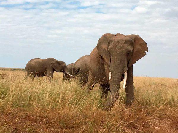 elefantes en la sabana