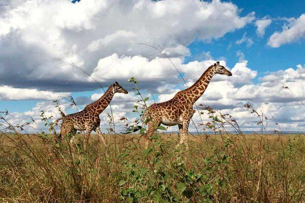 jirafas en la sabana