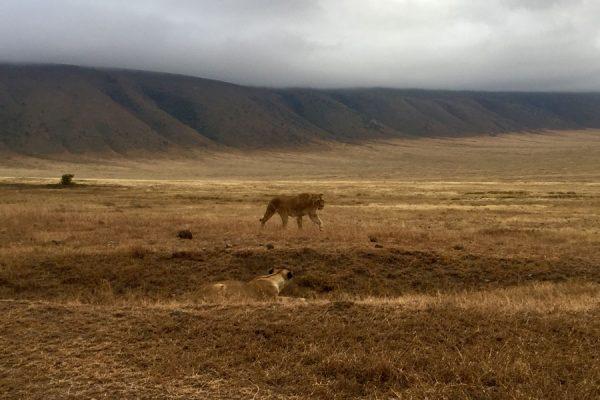 leonas en Ngorongoro