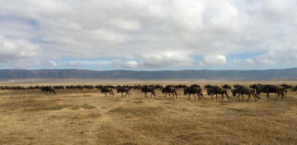 ñus del Ngorongoro