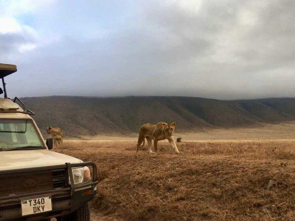 leon del Ngorongoro